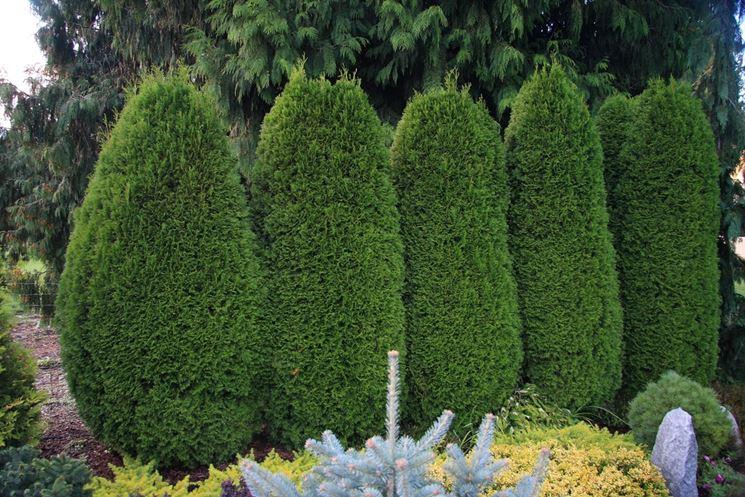 Gli alberi da siepe siepi tipi di alberi da siepe - Alberi sempreverdi da giardino ...