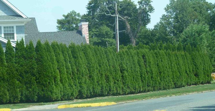 Gli alberi da siepe siepi tipi di alberi da siepe for Siepe sempreverde