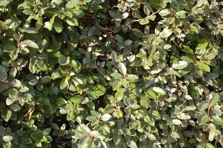 Le piante da siepe siepi coltivare siepe for Piante da siepe