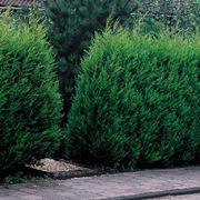 Leylandii pianta