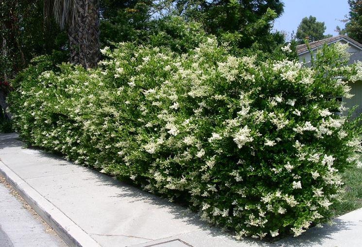 ligustro siepe fiorita