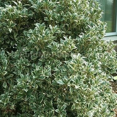 Una pianta di Osmathus Aquifolium