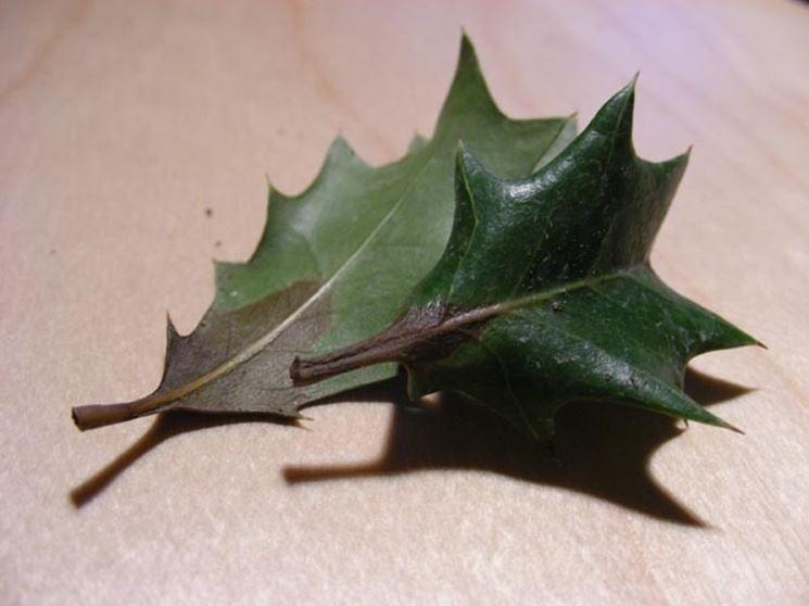 L'aspetto delle foglie rivela la presenza di muffe e parassiti