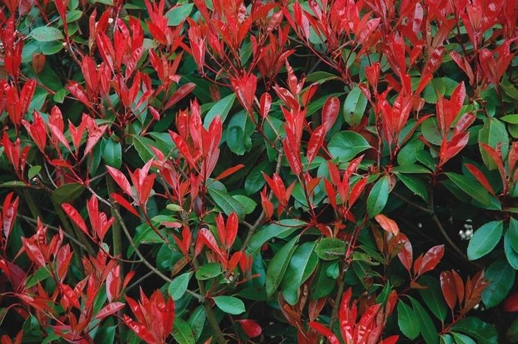 Photinia siepe - Siepi - Come realizzare una siepe di photinia