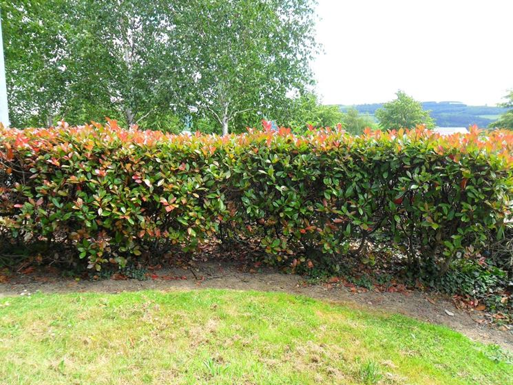Photinia siepe siepi come realizzare una siepe di photinia for Piccole piantagioni