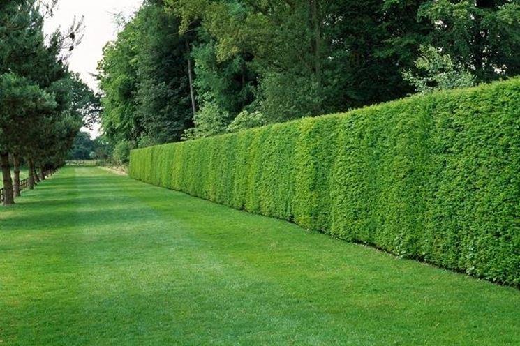 Una siepe sempreverde ha una vegetazione folta e rigogliosa