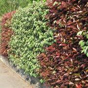 Una siepe sempreverde protegge la privacy