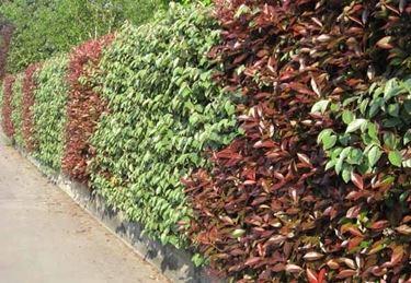 Una <em>siepe sempreverde</em> protegge la privacy