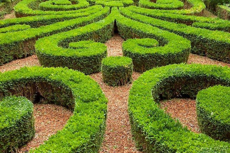 Pianta sempreverde da siepe siepi sempreverdi per siepi for Piante siepe sempreverde
