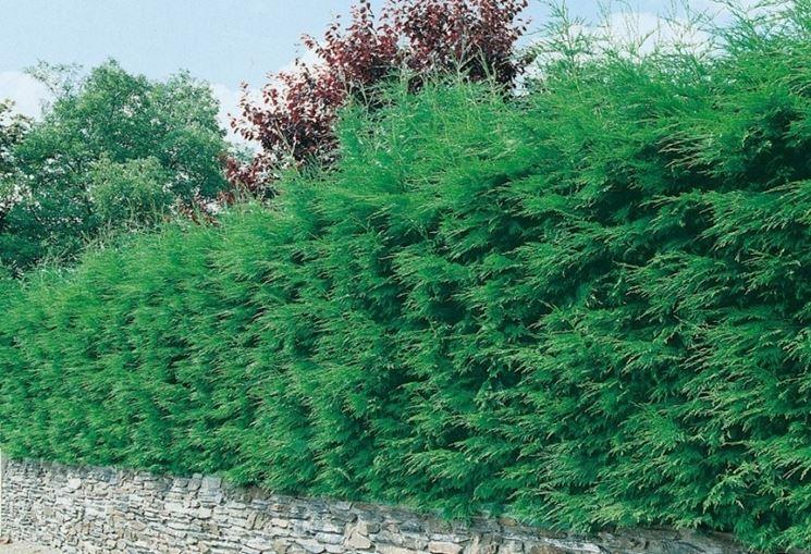 Pianta sempreverde da siepe siepi sempreverdi per siepi - Quand tailler les cypres de leyland ...