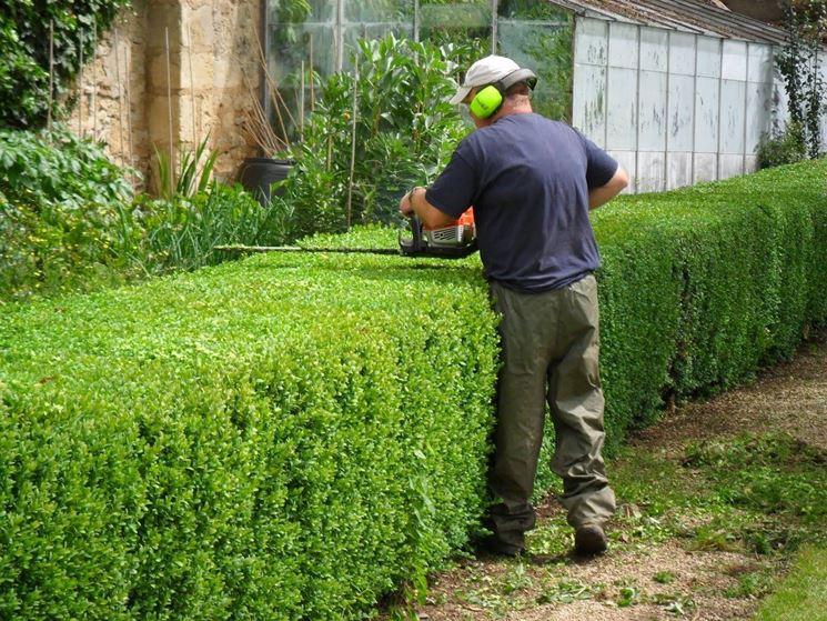 Siepi Da Giardino Crescita Veloce : Pianta sempreverde da siepe siepi sempreverdi per siepi