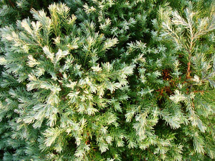 Piante da siepe prezzi siepi piante siepe prezzi for Piante profumate da giardino