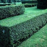 Siepe di pianta di ligustro