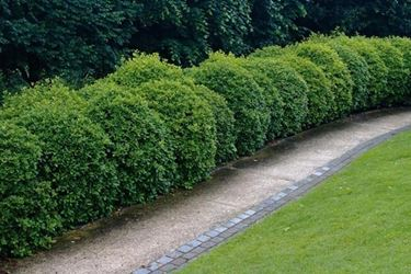 Siepe di pianta di Viburno