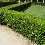 Un esempio di siepe sempreverde