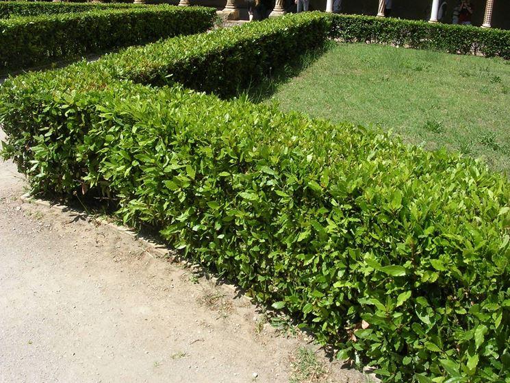Piante siepi sempreverdi siepi piante per siepi - Sempreverde da giardino ...