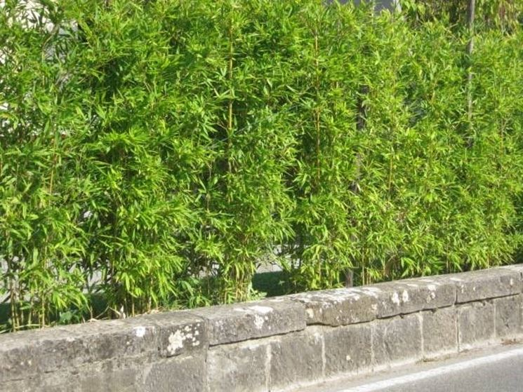 Un esempio di siepe di bambù