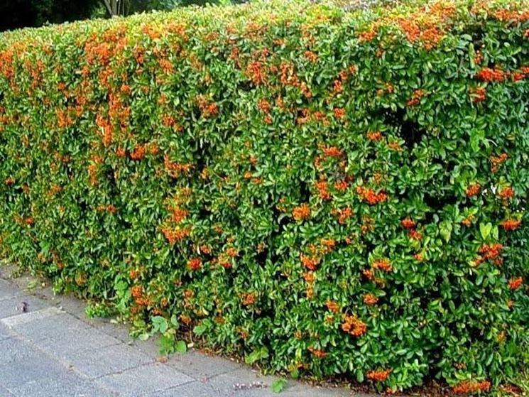 Piante siepi sempreverdi siepi piante per siepi for Le piante sempreverdi