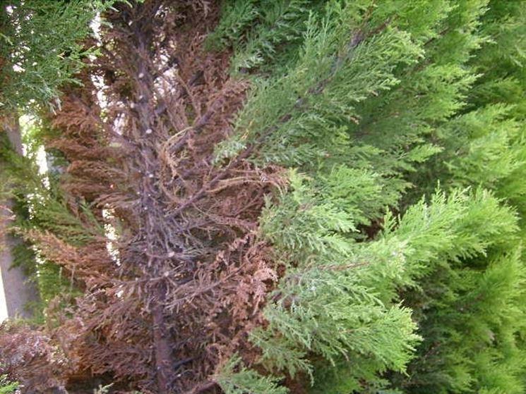 Pini per realizzare siepi siepi pini per siepi - Siepi ornamentali da giardino ...