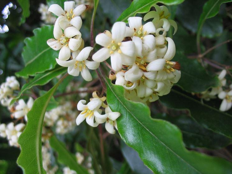 Pittosporo fiore