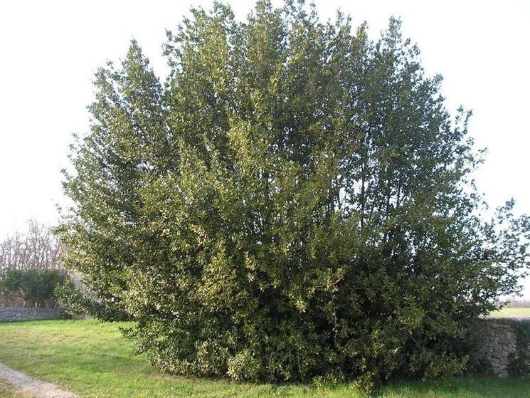 L'arbusto di alloro