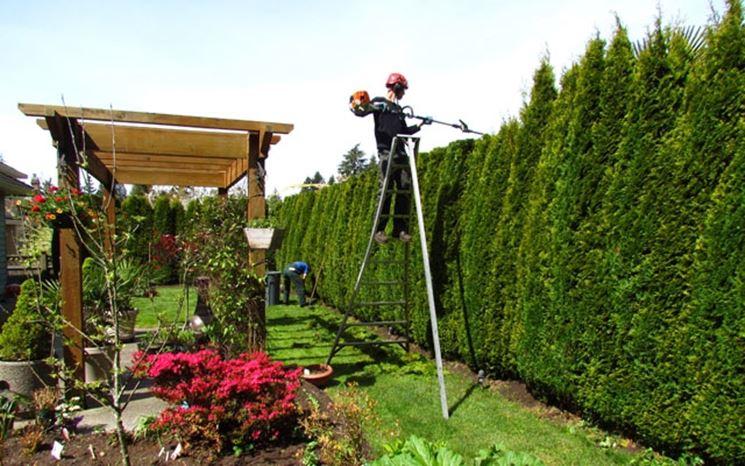 Potatura di siepe di conifere effettuabile tutto l'anno