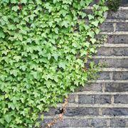 piante rampicanti perenni sempreverdi