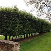 Siepe di alberi