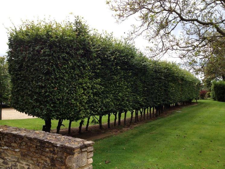 Scegliere gli alberi per siepi siepi alberi per siepi for Piante per siepi