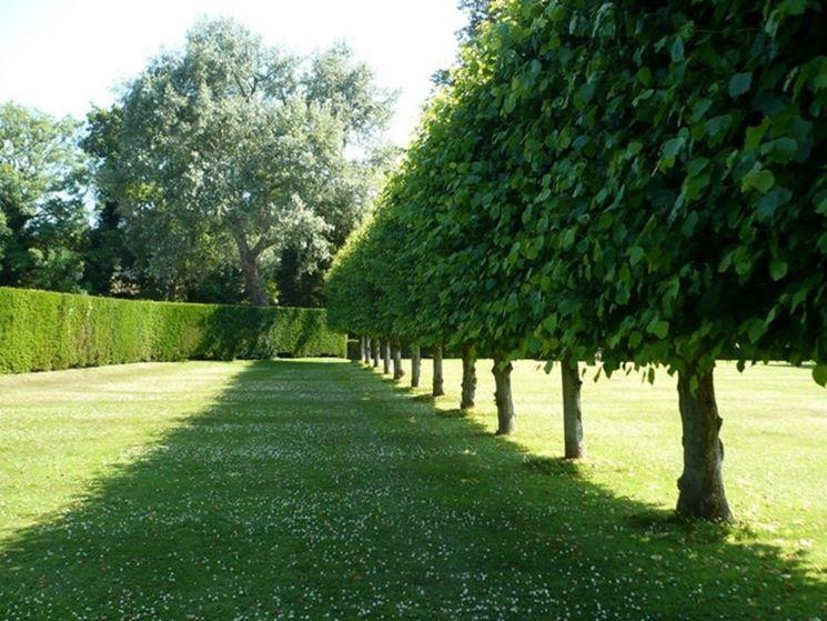 Scegliere gli alberi per siepi siepi alberi per siepi - Alberelli da giardino sempreverdi ...