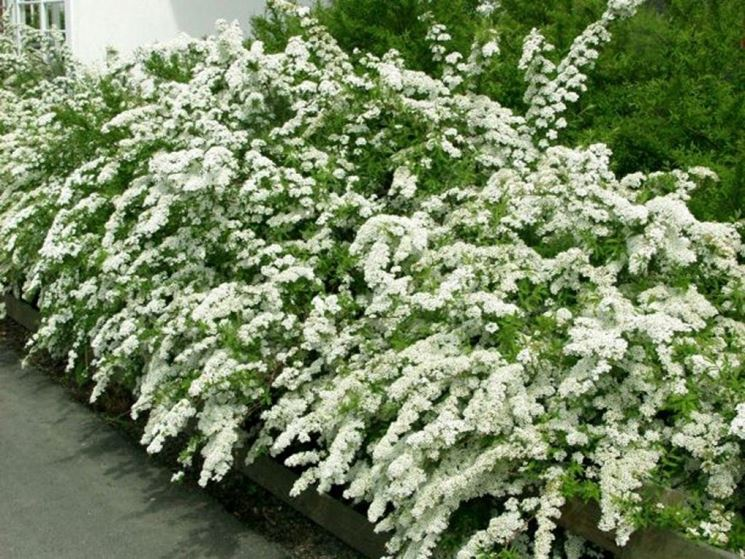 Siepe con fiori siepi siepe fiorita for Cespugli fioriti perenni resistenti al freddo