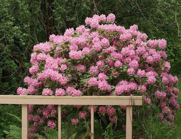 Siepe con fiori siepi siepe fiorita - Sempreverde da giardino ...
