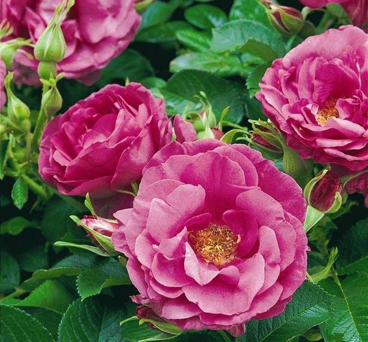 Dettaglio della varietà di <strong>rose da siepe</strong> Wild Edric