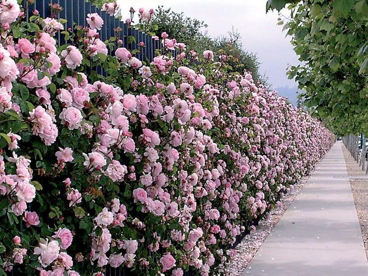 Una suggestiva immagine di una siepe di rose