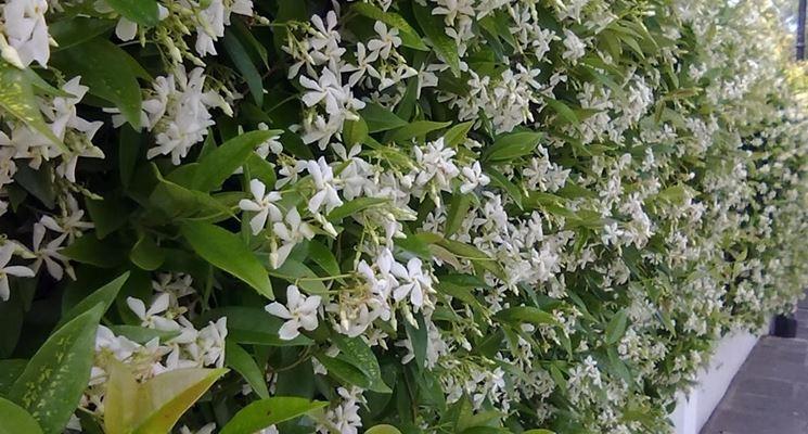 Siepe di gelsomino fiorita