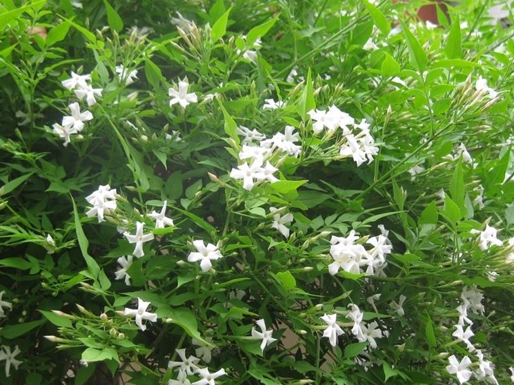 Bellissimo gelsomino fiorito