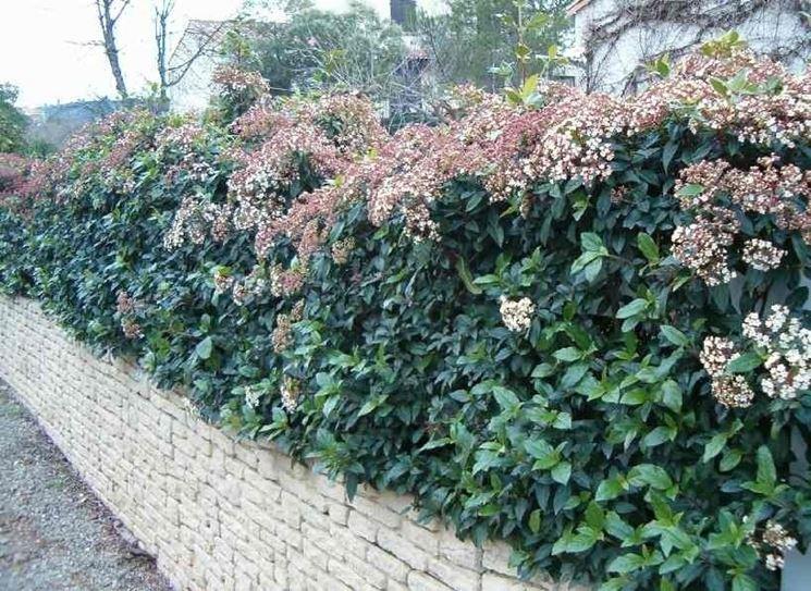 In primavera, il <em>viburno lucido</em> produce un'abbondante fioritura