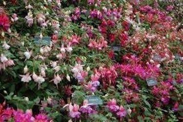 Siepe fiorita siepi for Siepi perenni fiorite