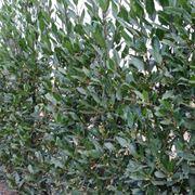 comune pianta da siepe