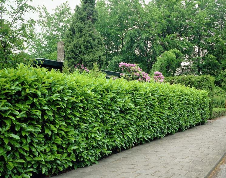 Siepi Da Giardino Fiorite : Siepi fiorite