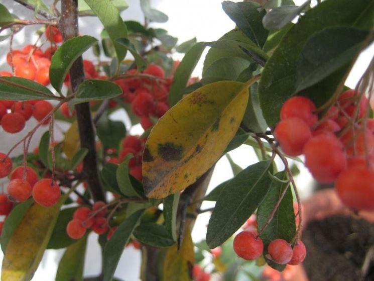 L'aspetto delle foglie rivela lo stato di salute della pianta