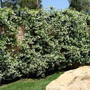 rhyncospermum