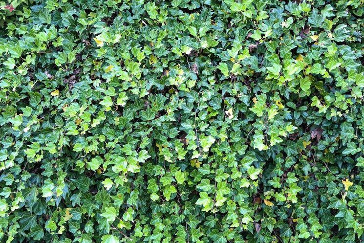 Siepe rampicante sempreverde siepi come realizzare una - Rampicanti sempreverdi a crescita rapida ...