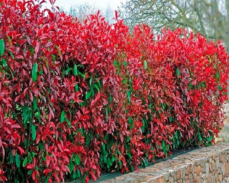 siepe rossa siepi siepe rossa giardino