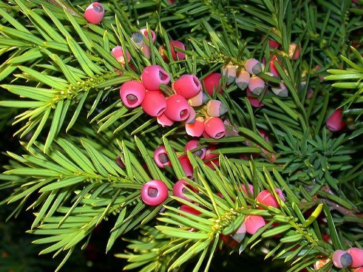 Particolare di una pianta di Tasso