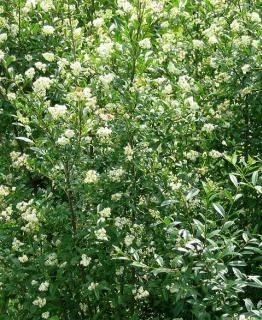 Siepi a crescita rapida siepi - Alberi da giardino sempreverdi a crescita rapida ...