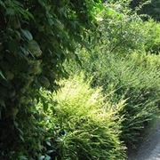 Esempio arbusto da siepe