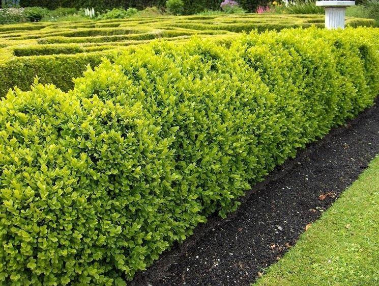 Arbusti adatti per creare siepi siepi arbusti per siepi for Siepi da giardino sempreverdi