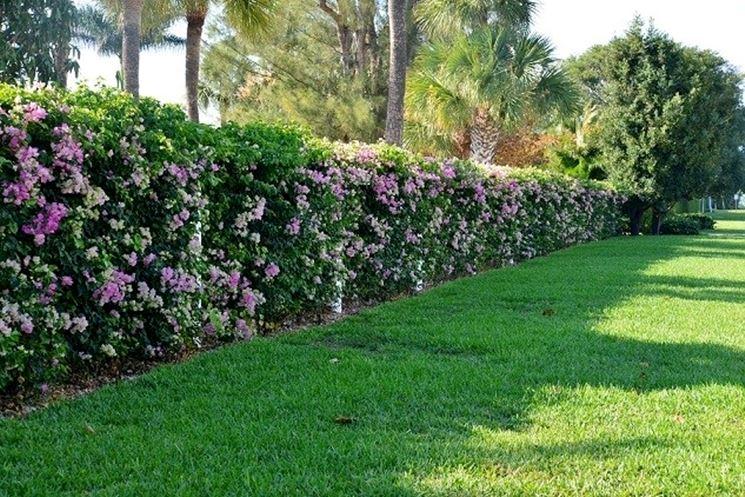 Image gallery siepi - Siepi da giardino fiorite ...