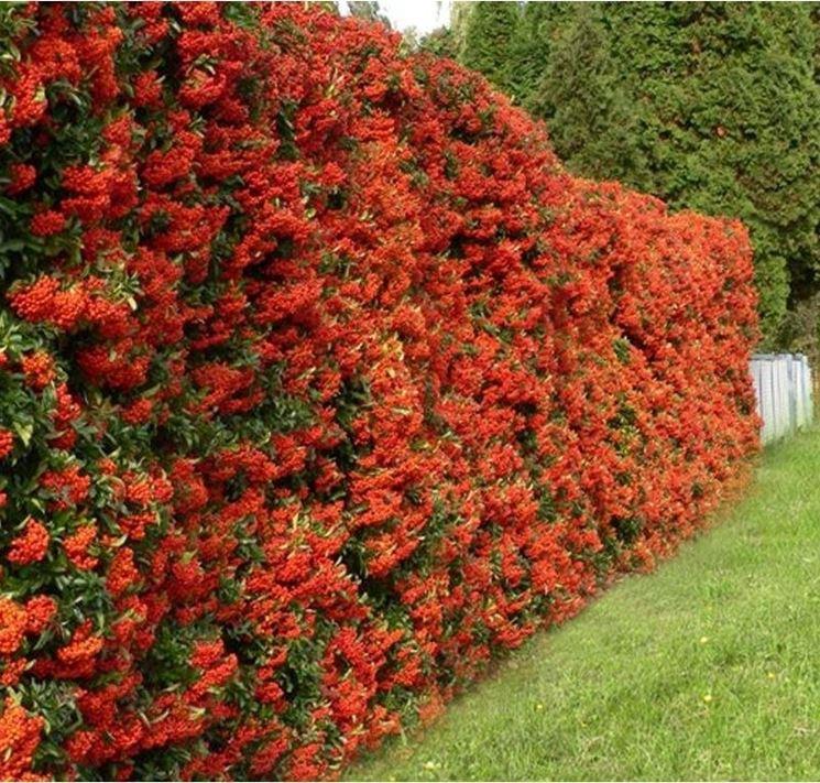Siepi con fiori siepi come realizzare siepi con fiori for Siepe sempreverde